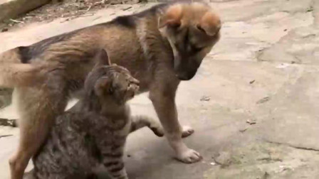 狗子一脚踩空以为是猫咪陷害,二话不说立马复仇,这一幕真是太逗了