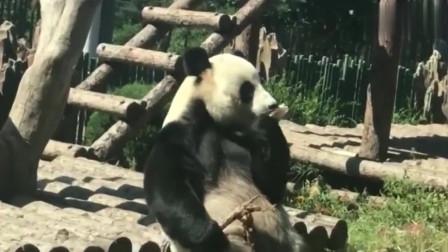 话痨大熊猫金虎:家里有矿式吃笋,地主家的傻儿子,被惯坏的妈宝熊