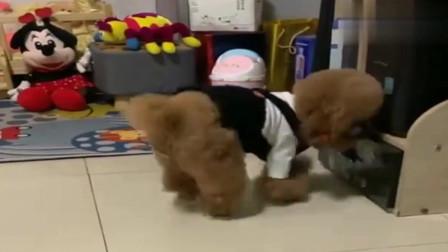 泰迪不喜欢妹妹,用踹垃圾桶的方式告诉主人,太逗了
