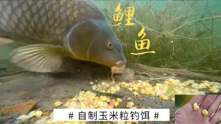 夏季水中大货横行,玉米粒钓饵这样做,才是鲤鱼、草鱼最爱的口味