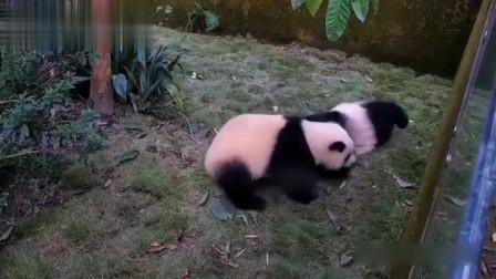 熊猫:让川仔和耀耀给大伙展示什么叫滚滚式斗殴