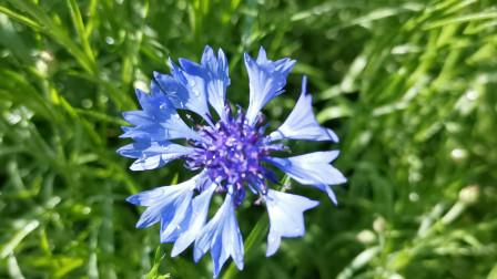 宁静高贵的蓝色矢车菊,撒上种子不用管,年年自然开放