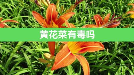 开花鲜亮的萱草,还能食用,味道特鲜美