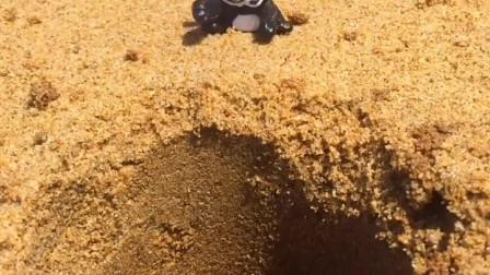赶海日常,沙滩拔出跳八爪鱼