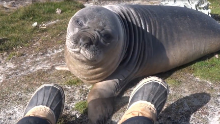 海豹不小心闻到了摄像小哥的脚,不料这味太重,还特容易上头!