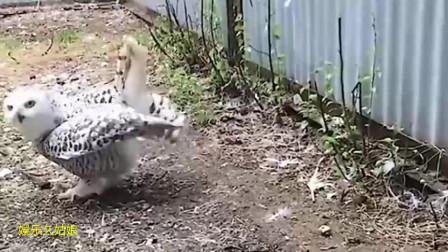 猫头鹰产蛋后,主人竟然对它这样,猫头鹰下一秒的表情太逗了!