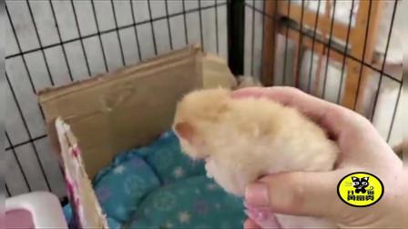 母猫生了个独苗,天天吃的大腹便便,很明显的营养过剩!