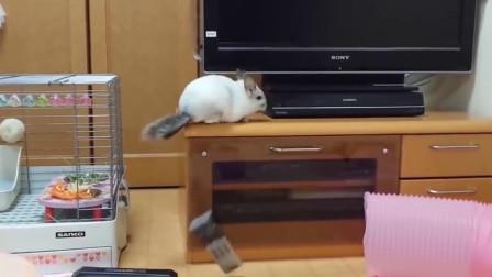 龙猫越看越可爱,越看越喜欢,拥有萌萌哒的龙猫是一种什么体验?网友:幸福
