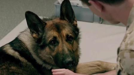 战犬:没有坏的狗狗,只有不会用心的主人!
