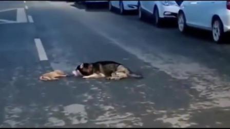 看着心疼广东街头一只小狗不慎被撞狗妈妈趴在地上不住哭泣
