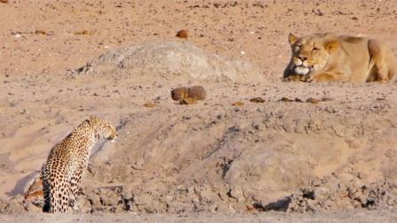 狮子埋伏一只花豹,花豹突然感觉不对劲,想跑还来得及吗?