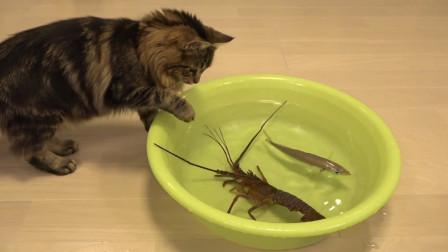 猫咪大战日本龙虾,同伴见它不敌前来帮忙,看完让人忍俊不禁!