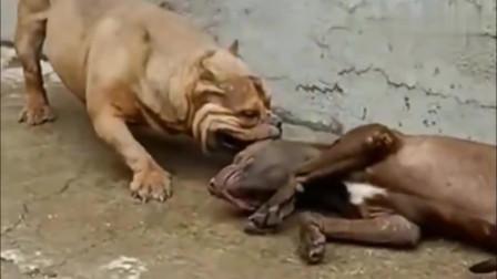 比特犬假装昏倒,恶霸犬步步紧逼,比特犬也有怂的时候!