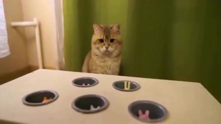 美国橘猫看着新玩具陷入了沉思,这明显是在为难我胖虎嘛!