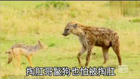 大自然:鬣狗偷袭黑背狐幼崽,被发现后开溜,黑背狐夫妻一路尾随掏肛报复