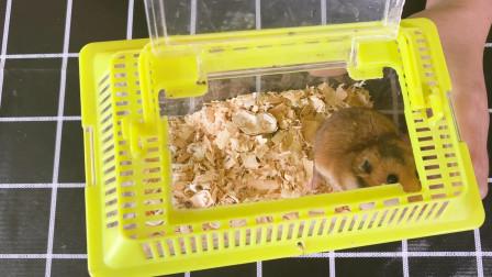 女主人收到一只可爱的金丝熊仓鼠,开箱一看好可爱,喂它东西却不吃