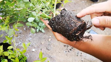 种植月季要选择合适的盆,大苗一定不能用小盆,不然影响生长