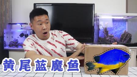 海洋动物开箱:买了1条超漂亮的黄尾蓝魔鱼,它真的会变颜色吗