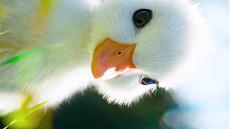 不放弃才能实现梦想的可爱的小鸭子1