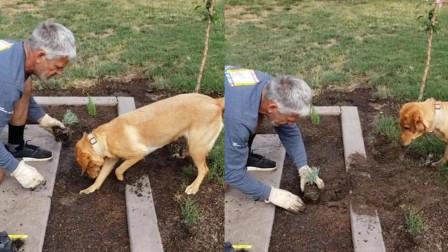 金毛犬熟练地挖着小洞 让主人把小植物种进去