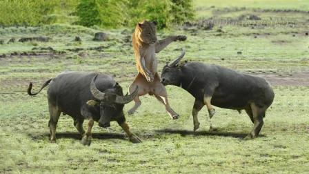 野牛发狂起来连狮子都怕,单挑狮子群不在话下,丛林之王原来也怕野牛