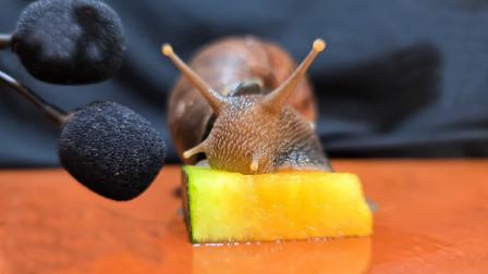 老外喂小蜗牛吃西瓜,咬上一口后,根本停不下来!