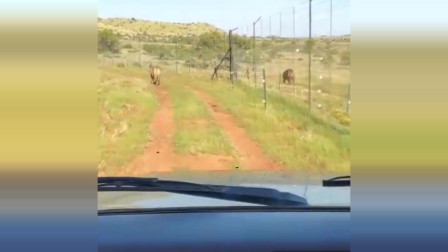 南非老虎谷小雄虎沙卡对峙昆巴