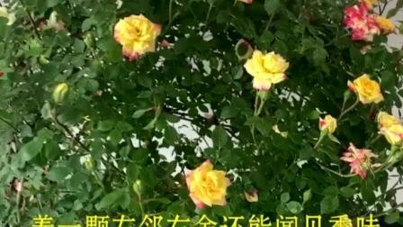 家居养花:喜欢养花的家里建议养一颗变色龙,也叫月季藤彩虹