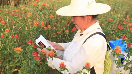 红花是怎么采摘的?看完采摘机的这波操作,网友:高手都在民间