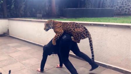 饲养员要背豹子,老虎看见吃醋了,开启撒娇模式