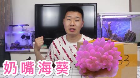 奶嘴海葵开箱:应粉丝朋友们开箱奶嘴海葵,收到货后我看蒙了