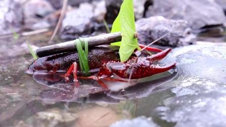 长大后想去流浪的小龙虾,怎知江湖险恶