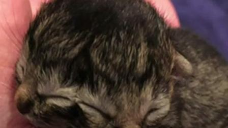 可可爱爱不是奇奇怪怪!美国小奶猫天生两张脸 两只小嘴都会吃东西
