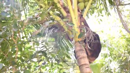 老外要猩猩上树去摘椰子给他吃几十米的树猩猩几下就爬上去了