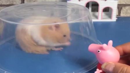 小猪佩奇玩具:猪爸爸让佩奇看小仓鼠,佩奇就把仓鼠扣住了,也是没谁了