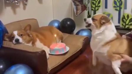 柯基:凭啥你过生日有蛋糕吃,还要逼着我给你唱生日歌,凭啥!