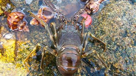 """礁石区""""青龙""""上岸觅食,盘着几个大海螺开吃,这家伙太会享受了"""