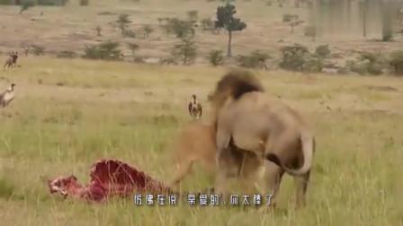 大自然:成群鬣狗抢夺母狮猎物,霸气雄狮赶到后,瞬间主导战场!