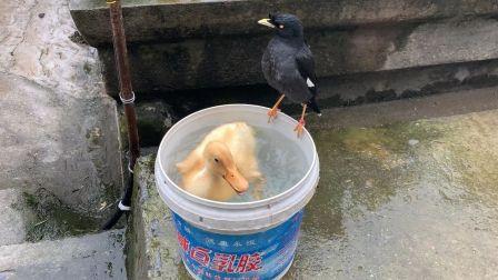 好吧,我承认家里最搞笑的就是这只胖鸭和一只堪比二哈的八哥鸟,一个卖萌,一个爱说话