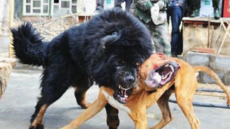 美国比特不服中国藏獒,拼尽全力殊死搏斗,结果场面一度失控!