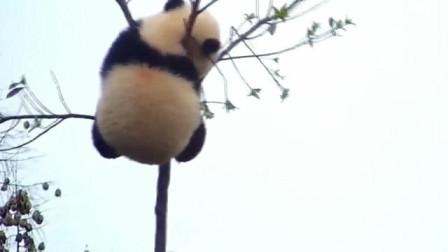 树杈上那只熊猫,你上得去还下得来吗?奶爸都被逗得笑出声!