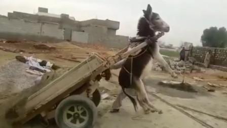 主人给驴子卸货,一个不留神,便悬挂在半空,驴子:劳资不干了!