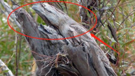 全球最会伪装的鸟,遇到天敌就装成枯树枝,一装就是一辈子!