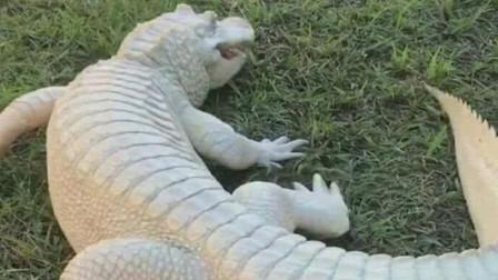 """它是鳄鱼中的""""异类"""",体表呈现橙黄色,敢大口咀嚼蝙蝠"""