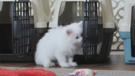 """汪喵物语 """"布丁""""""""小黄""""玩躲猫猫,小奶猫也太酥了吧!"""