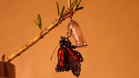 自然界的神奇,毛毛虫化茧成蝶,要脱胎换骨5次!