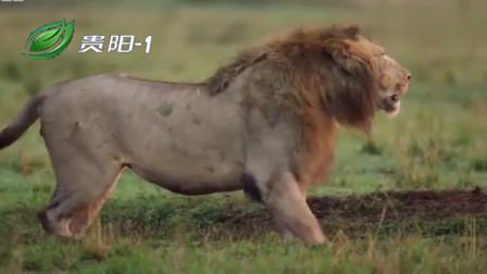 大自然:草原上,鬣狗群欺负落单的雄狮,幸好雄狮的同伴及时赶来