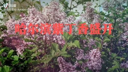 哈尔滨的丁香花季