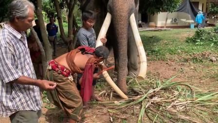 村民割下大象的牙齿,看似很残忍,实则是为了保护他们