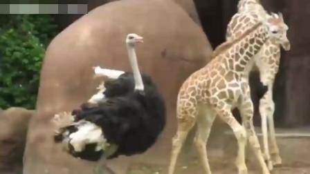 动物世界:鸵鸟和长颈鹿玩的好嗨!